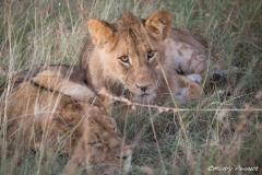 Watching Me - Lion Cubs