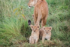 Young cubs with Lioness