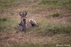 Zebra Foal mid Yawn!