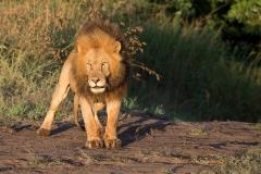 Adult Pride Male Lion