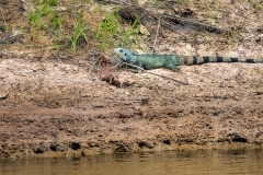 Iguana on the banks of the Amazon River